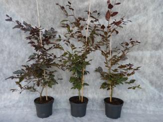 bodendeckerpflanzen online kaufen heckenpflanzen. Black Bedroom Furniture Sets. Home Design Ideas