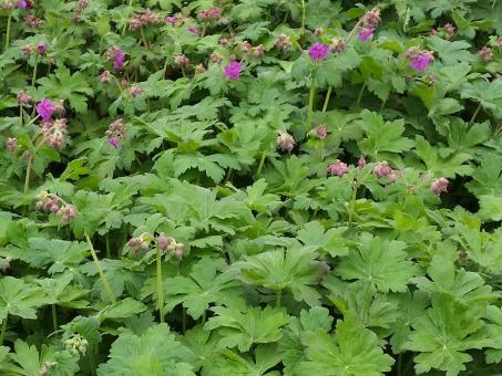 Geranium macrorrhizum - Balkan Storschnabel