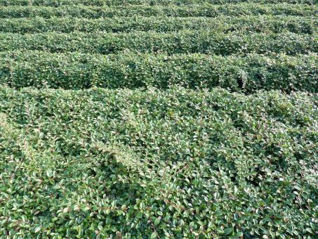 Cotoneaster dammeri 'radicans' - Kriechmispel