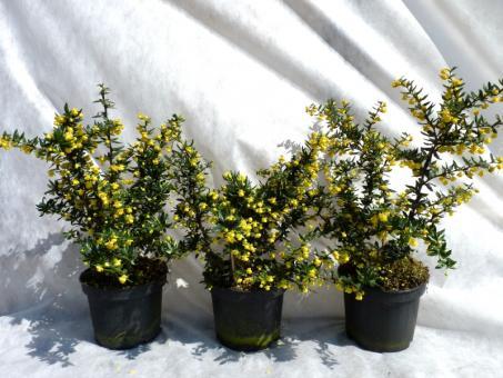 bodendeckerpflanzen online kaufen silber berberitze 39 frikartii 39 verrucandi im c3 40 50cm. Black Bedroom Furniture Sets. Home Design Ideas