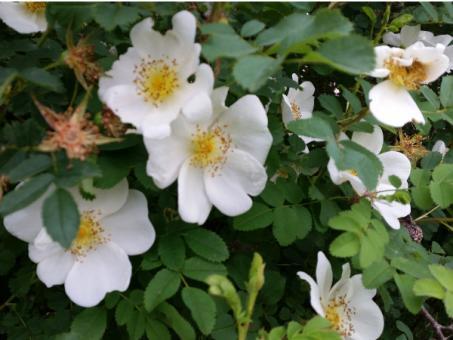 Rosa Pimpinellifolia - Bibernellrose