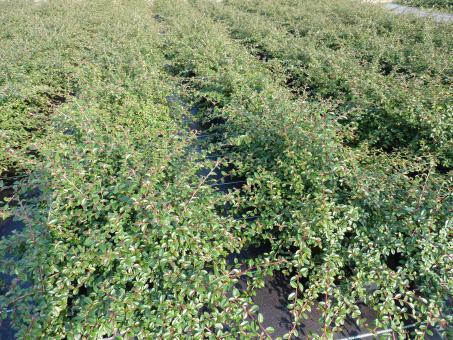 Kriechmispel (Cotoneaster dammeri 'Coral beauty'), immergrüner Bodendecker im 0,5L Topf