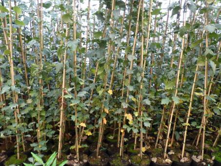 Sorbus torminalis (Elsbeere) Größe 50-80 cm , 2-3L Container
