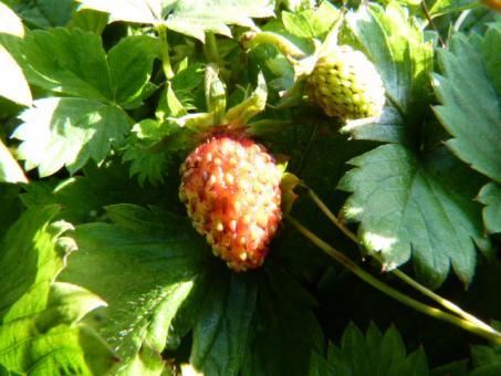 Wald-Erdbeere (Fragaria vesca, Monatserdbeere) im P9 Topf