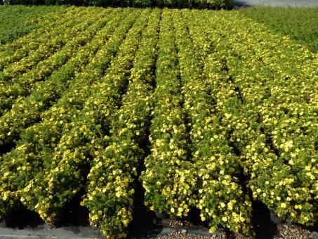bodendeckerpflanzen online kaufen gelber f nffingerstrauch potentilla fruticosa 39 kobold 39 20. Black Bedroom Furniture Sets. Home Design Ideas