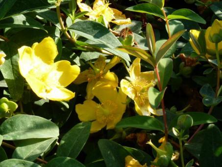 Hypericum 'Hidcote Gold', Grossblumiges Johanniskraut, 20-30 cm groß