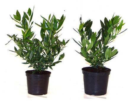 bodendeckerpflanzen online kaufen kirschlorbeer 39 otto luyken 39 30 40cm preiswert durch. Black Bedroom Furniture Sets. Home Design Ideas