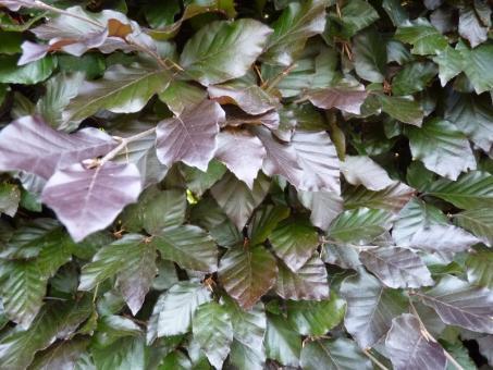 Fagus sylvatica purpurea - Blutbuche