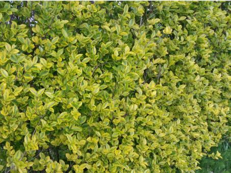 bodendeckerpflanzen online kaufen ligustrum ovalifolium. Black Bedroom Furniture Sets. Home Design Ideas