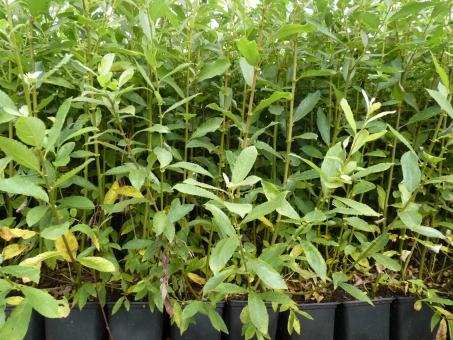 Salix Caprea - Salweide