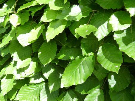 Fagus sylvatica - Rotbuchenpflanzen