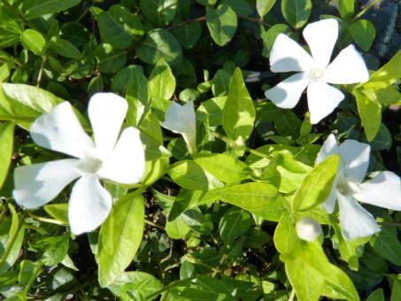 'Vinca Minor Alba' - Kleines Immergrün (weiß) im P9 Topf