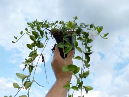 bodendeckerpflanzen online kaufen 39 vinca minor alba. Black Bedroom Furniture Sets. Home Design Ideas