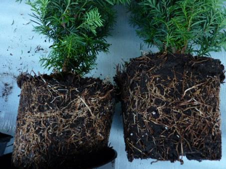 bodendeckerpflanzen online kaufen taxus media 39 hillii. Black Bedroom Furniture Sets. Home Design Ideas