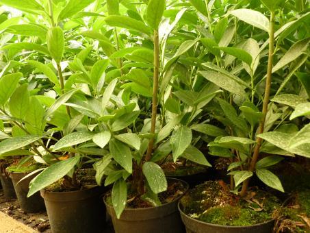 bodendeckerpflanzen online kaufen kirschlorbeer caucasica im container preiswert durch. Black Bedroom Furniture Sets. Home Design Ideas