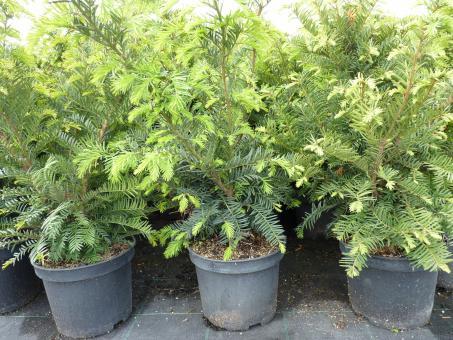 bodendeckerpflanzen online kaufen taxus baccata eiben preiswert durch direktvertrieb. Black Bedroom Furniture Sets. Home Design Ideas