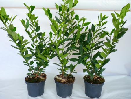 bodendeckerpflanzen online kaufen kirschlorbeer diana im container preiswert durch. Black Bedroom Furniture Sets. Home Design Ideas