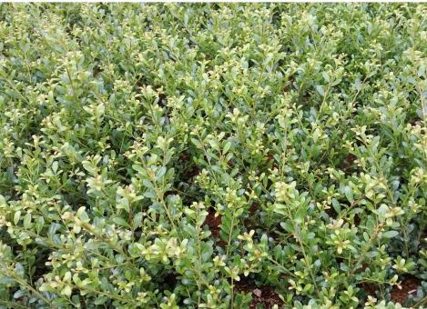 bodendeckerpflanzen online kaufen bergilex 39 glorie gem 39 preiswert durch direktvertrieb. Black Bedroom Furniture Sets. Home Design Ideas