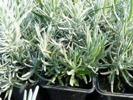 bodendeckerpflanzen online kaufen echter lavendel hidcote blue im p9 topf 0 5l preiswert. Black Bedroom Furniture Sets. Home Design Ideas