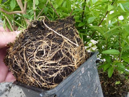 bodendeckerpflanzen online kaufen liguster lodense. Black Bedroom Furniture Sets. Home Design Ideas