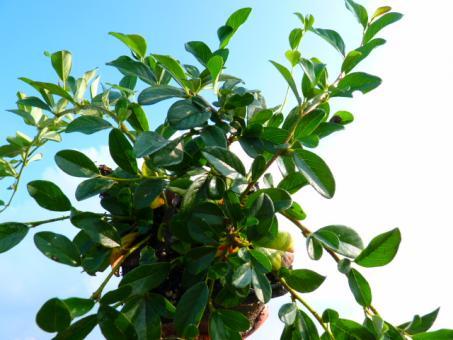 bodendeckerpflanzen online kaufen cotoneaster dammeri. Black Bedroom Furniture Sets. Home Design Ideas