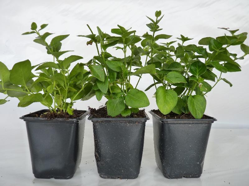 bodendeckerpflanzen online kaufen 39 vinca major 39 gro es. Black Bedroom Furniture Sets. Home Design Ideas