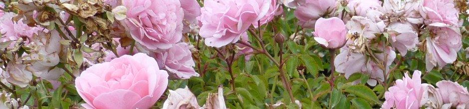 banner_rose